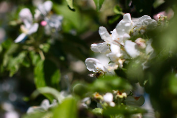 Beautiful biting white delicate fresh flowers on the branches of an apple tree in spring period