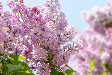 Branch of lilac flowers with the leaves, floral background. Branch with spring lilac flowers