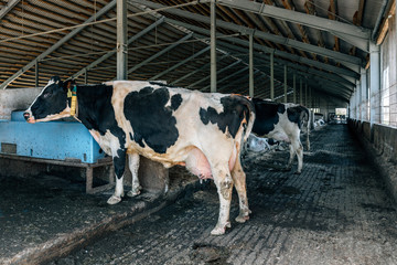 Black and white cow in a barn