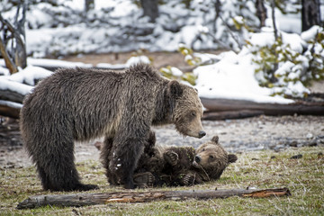 Wall Mural - Mother Grizzly Bear with Cub