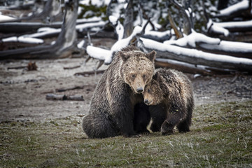 Wall Mural - Cub Cuddling with Mother Grizzly Bear