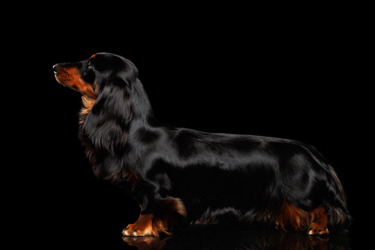 Dachshund Standing Dog on Isolated Black background, side view