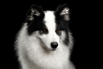 Portrait of White Yakutian Laika Dog on Isolated Black Background Wall mural