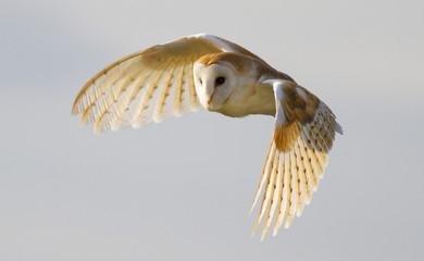 Barn Owl, Bird of Prey, in flight with a clean background Fototapete
