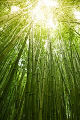 Lush green bamboo background