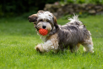 Playful havanese puppy dog walking with his ball in the grass