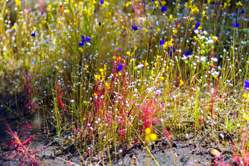 Drosera indica Linn.and Utricularia bifida l. beautiful