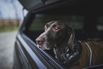 a hunting dog in the back of a truck
