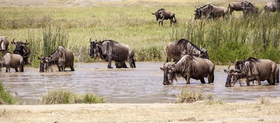 Wildebeest herds during migration in Serengeti national park Tanzania Africa