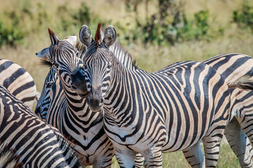Two Zebras bonding in the Chobe National Park.