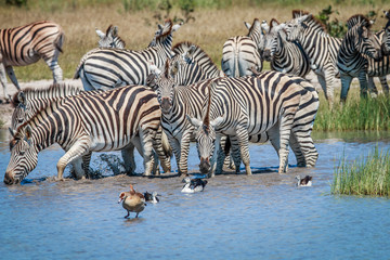 Group of Zebras drinking in Chobe.