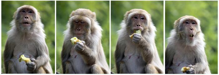 Combination of photos shows a monkey eating an apple on Jammu-Srinagar national highway in Jammu