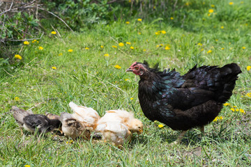Free range Easter Egger or Black Australorps hen with multicolored chicks pecking at grain in grassy field with dandelions in background. Shallow depth of field.