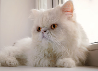 The white cat of the Persian breed lies at a window.