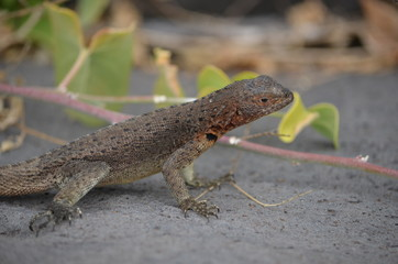 A Lava Lizard (Microlophus delanonis) sits on a rock on Isla Española in the Galapagos Islands.