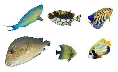 Tropical reef fish isolated on white background. Parrotfish, Triggerfish, Angelfish, Sweetlips fish