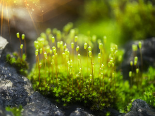Macro photo of Cape Thread-moss with water drop and light.