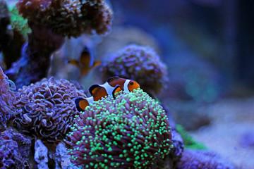 Finding Nemo in coral reef aquarium