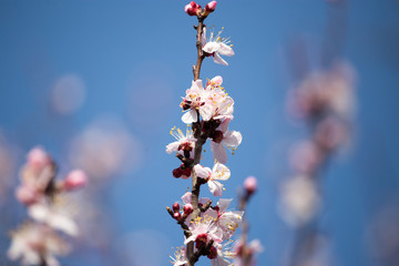 Beautiful flowers on apricot tree in spring