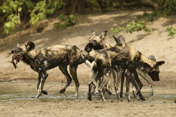 A critically endangered African wild dog (Lycaon pictus) carries a Bushbuck's head and neck in the Mana Pools National Park, a World Heritage Site, in northern Zimbabwe