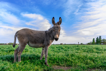 Foto op Canvas Ezel Beautiful donkey in green field with cloudy sky