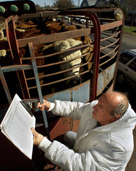 ARGENTINE ANIMAL HEALTH OFFICIAL INSPECTS COWS.