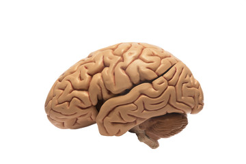 Artificial human brain model, left sided view