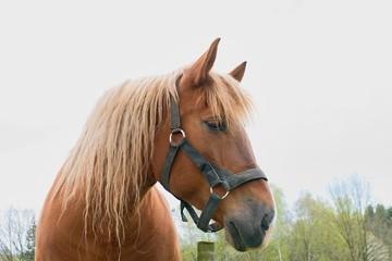 Portrait of a thoroughbred chestnut stallion. Horse head