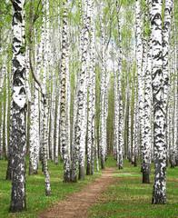 Spring greens in birch grove