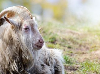 Adult big horned goat relax on pasture in clear day.