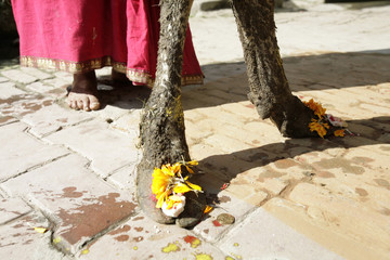 Hindu devotees place flowers and offerings on the foot of a cow as a symbol of worship in the Nepali capital of Kathmandu