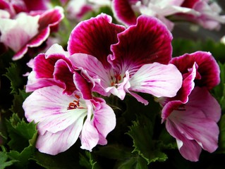 pretty flowers of geranium plant
