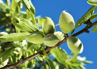branch of almond tree with green almonds