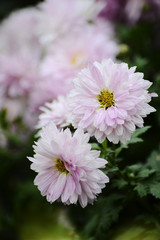 Autumn Chrysanthemum Show