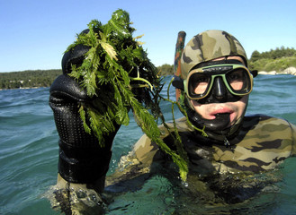 -UNDATED FILE PHOTO- A Croatian diver explores the seabed in search for tropical algae near Stari Gr..