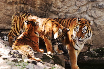 Tigers family of three in zoo . Animals background, photo