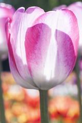 Delicate spring flower tulip