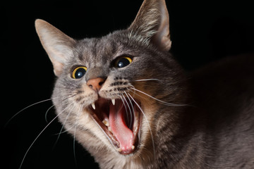 yawning cat on a black background