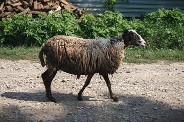 A sheep walking down the street