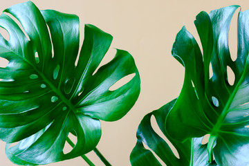 Monstera leaves background