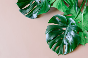 Monstera leaves summer background with a space for a text