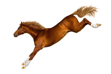 A jumping horse on white background.