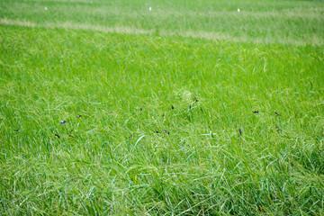 Birds in Rice Farm