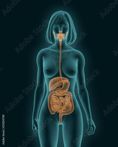 Woman Body With Digestive System Internal Organs 3d Render Stock