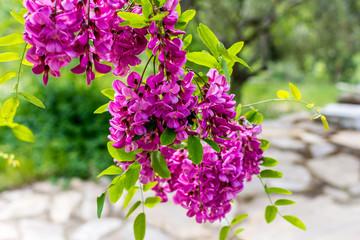 Search photos clammy locust tree blossoming robinia viscosaammy locust tree mightylinksfo