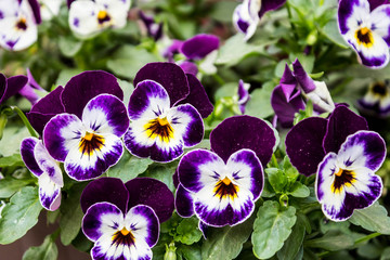 Foto op Aluminium Pansies Purple flowers close-up