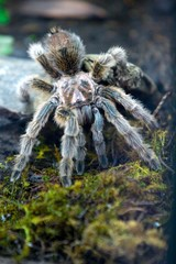 """A """"Pollera"""" spider is seen in a wooded area a new section in the Explora park in Medellin"""