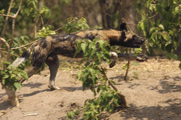 A critically endangered African wild dog (Lycaon pictus) hunts a Bush buck in the Mana Pools National Park, a World Heritage Site, in northern Zimbabwe
