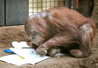 Orangutan draws picture with crayons at Tama Zoo Park in Tokyo