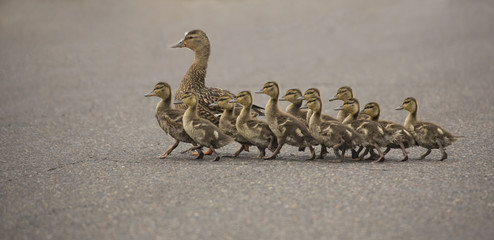 Mama Duck and twelve ducklings crossing the street